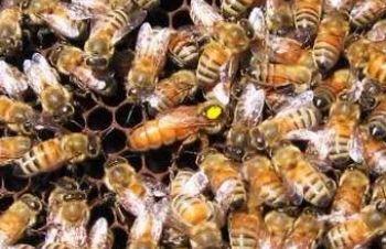 Пчелиные матки Итальянской породы Ф1 (пчеломатки), Кагарлык