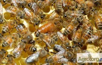 Пчелиные матки Бакфаст Ф1 (пчеломатки), Кагарлык