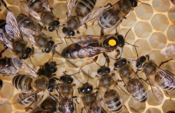 Пчелиные матки Карника Ф1 (пчеломатки), Кагарлык