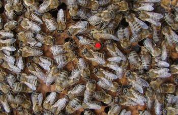 Неплодные пчелиные матки пород Украинская степная, Бакфаст, Карника, Итальянка, Кагарлык