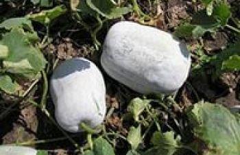 Бенінказа, бенинказа (Benincasa), восковий гарбуз, Лохвица