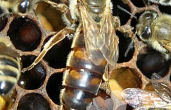 Пчеломатки Карника, пчелопакеты, Славута
