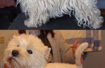 Тримминг, стрижка- Вест Хайленд Вайт Терьер, West Highland White Terrier, вестик, wes, Киев