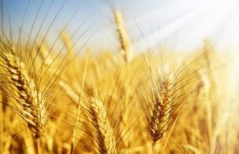 Озима пшениця Сталева 1р-я, Одесса