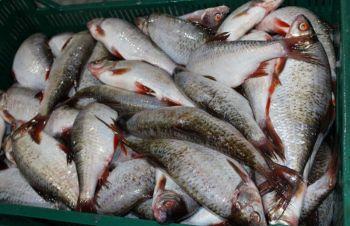 Продам речную рыбу оптом, Черкассы