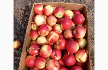 Продам яблуко Хоней Крісп і Гала Маст молодого саду, Винница