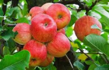 Продам яблука сорту: Флоріна, Райка, Голд Богемія, Чемпіон, Дунаевцы