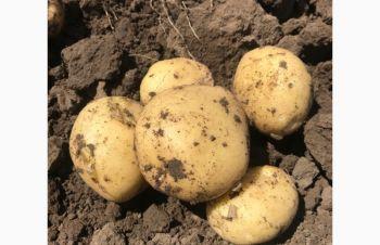 Продам молодой картофель, Херсон