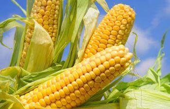 Насіння кукурудзи МАТЕО / п.о, Киев