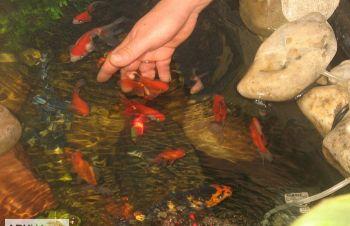 Карпы кои для водоема, малек карп кои цена, зоомаркет интернет, аквариумные рыбки, лотос, камыш, Васильков