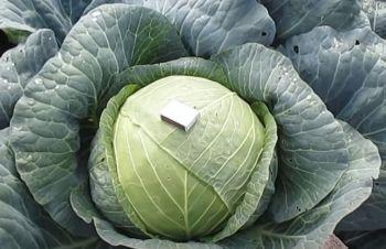 Продам капусту белокачанную сорт Мегатон, Харьков
