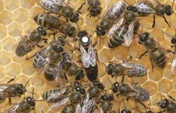Пчеломатки украинская степная племзавод, Старая Синява