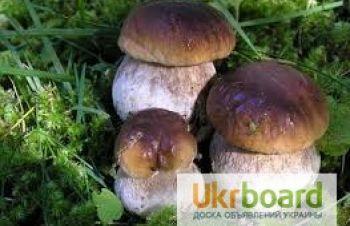 Продам білі карпатські гриби, Ивано-Франковск