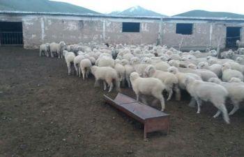 Овцы, на экспорт, Романовские, Меринос, Днепр